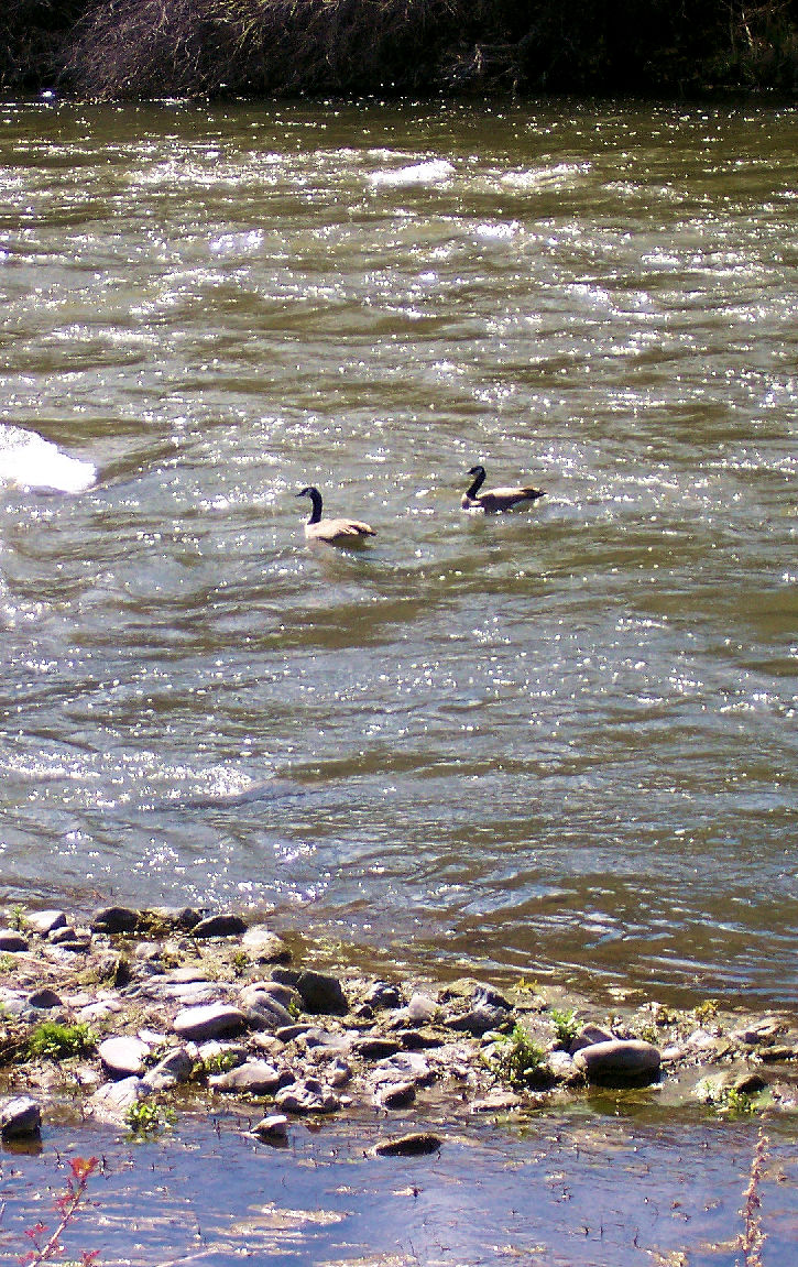 Mallards on the Upper Klamath