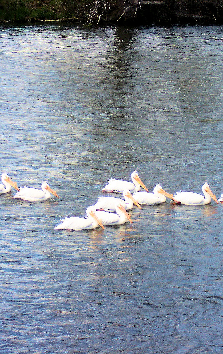 American White Pelicans on the Upper Klamath River.