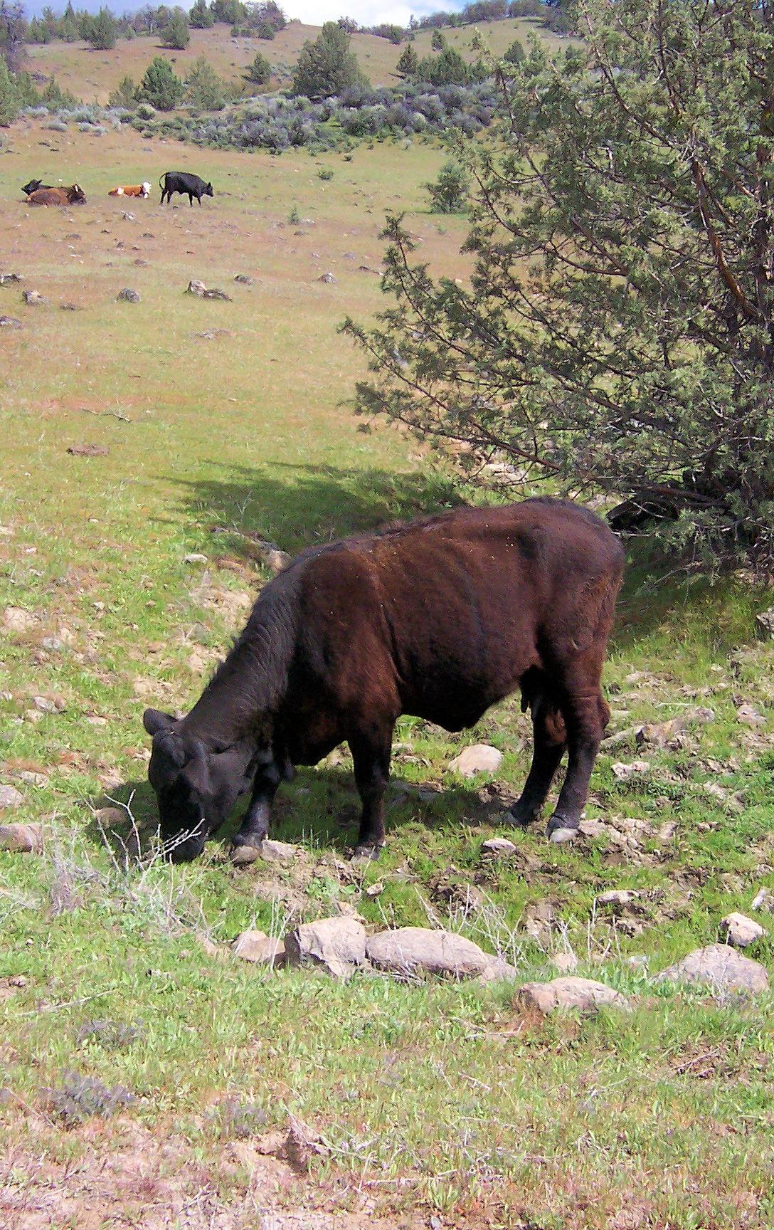 Cow on Klamathon Road, Siskiyou County, California.